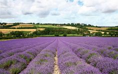 The lavender fields at Castle Farm in Kent, owned by William and Caroline Alexander