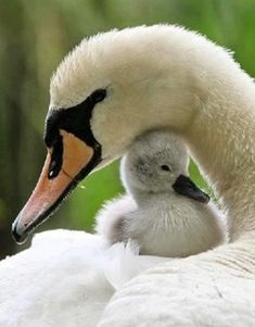 Beautiful relationship! Mother swan, with baby cygnet. So sweet!
