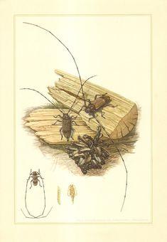 1956 Longhorn Beetles Cerambycidae Timberman by CabinetOfTreasures