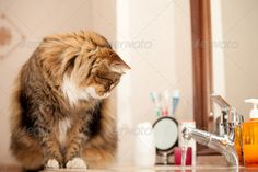 Stock photo available for sale at Photodune: Cat Watching The Water From The Faucet