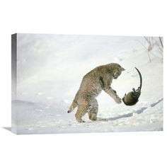 Global Gallery Nature Photographs Bobcat Hunting Muskrat in the Winter, Idaho Photographic Print on Canvas Size: