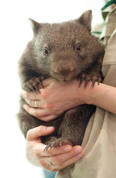 We whipped out this photo of a wombat and our associate editor Harry was paralyzed in an alternating laugh/awwww/laugh/awwww stupor for three whole minutes. Cute Wombat, Baby Wombat, Zoo Animals, Animals And Pets, Cute Animals, Wild Animals, Tasmania, The Wombats, Quokka