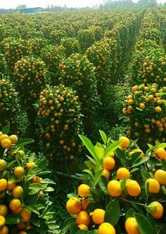fields of citrus fruit in occupied Palestine Fruit Plants, Fruit Garden, Fruit Trees, Vegetable Garden, Beautiful Fruits, Beautiful Gardens, Growing Tomatoes In Containers, Grow Tomatoes, Fruit Photography