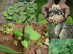 Indigenous Medicinal Rice Formulations for Diabetes and Cancer Complications, Heart and Kidney Diseases (TH Group-102 special) from Pankaj Oudhia's Medicinal Plant Database