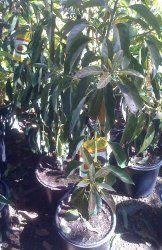Little Cado Dwarf Avocado Tree Five Gallon Dwarf Avocado Tree, Growing An Avocado Tree, Avocado Plant, Fresh Avocado, Trees And Shrubs, Trees To Plant, Avocado Picture, Green Fruit, Courtyards