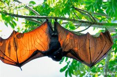Flying fox bat..look at those wings! Amazing!