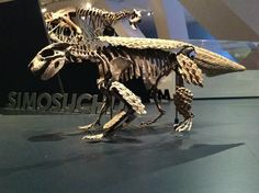 Simosuchus (pug-nosed crocodile), a notosuchian crocodylomorph from the late Cretaceous of Madagascar. About 2-1/2 feet in length. Royal Ontario Museum