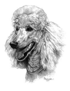 Amber the Standard Poodle.  www.gensart.net