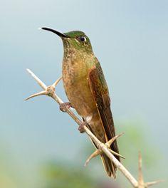 Heliodoxa-Leonado,-Fawn-breasted-brilliant-(Heliodoxa-rubinoides). Reserva Rio Blanco, Manizales.