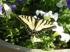 butterfly and impatients