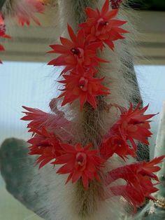 hildewintera aureispina -