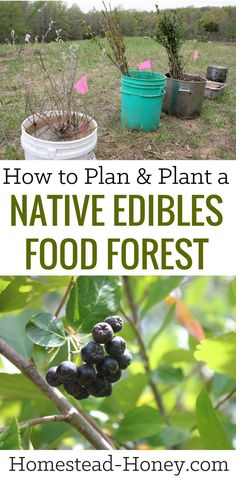Diversify your homestead harvest with a native edibles food forest Here I share how we economically planted 100 edible medicinal trees on our land Homestead Honey