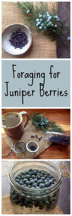 Foraging for Juniper Berries~ More than just gin! www.growforagecookferment.com