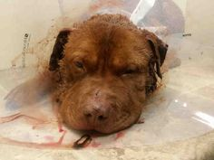 RUSTY – A1032539 MALE, BROWN, PIT BULL, 1 yr STRAY – STRAY WAIT, NO HOLD Reason STRAY Intake condition INJ SEVERE Intake Date 04/08/2015, From NY 11233, DueOut Date 04/11/2015,