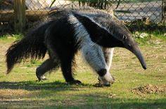 Fourmilier ou tamanoir géant Giant Anteater, Black Bear, Animals, Image, Continents, Archive, Shepherd Dog, Shrimp, Reading