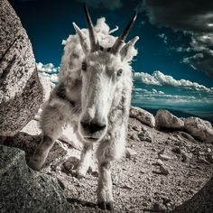 Colorado Mountain Goat (Charge) by Geoff Ridenour, via 500px