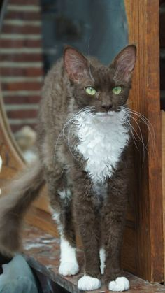 Wina vom Feld, chocolate with white LaPerm Longhair Cute Cats And Kittens, Cool Cats, Kittens Cutest, Ragdoll Kittens, Tabby Cats, Funny Kittens, Bengal Cats, White Kittens, Black Cats