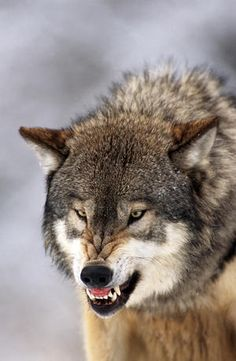 Wolf Photos, Wolf Pictures, Wolf Tattoos, Beautiful Wolves, Animals Beautiful, Savage Animals, Regard Animal, Snarling Wolf, Angry Animals
