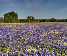 Texas Hill Country Bluebonnet Tour voted one of the Best Spring Drives by Travel & Leisure