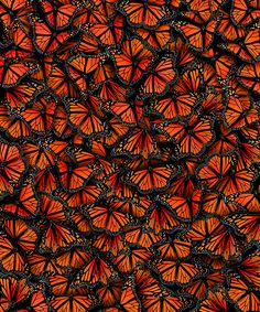 Monarch Butterflies by Elmira Amirova. Before metamorphosis the larva survive by eating the milkweed plant. This adaptation that monarch butterflies evolved protects them during their imago stage from predators such as birds. Beautiful Creatures, Animals Beautiful, Butterfly Kisses, Butterfly Quotes, Butterfly Images, Butterfly Wallpaper, Tier Fotos, Patterns In Nature, Nature Pattern