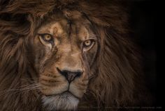 The subject is an absolutely magnificent Barbary Lion , that my good friend and fellow wildlife photographer Sue Demetriou introduced me to at Port Lympne Wildlife Park in Kent...Ashley Vincent