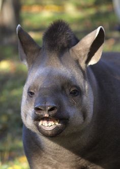 "Tapir smile - ""Look, just got back from the dentist. Rare Animals, Zoo Animals, Wild Animals, Anta, Animal Species, Magical Creatures, Cute Funny Animals, Mammals, Beast"