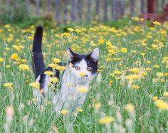 young rustic cat Photos young rustic cat on lawn with dandelions.toned by Roo Ivan