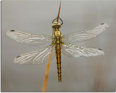Golden dragonfly... by Bel�n Arg�eso Castelos on 500px
