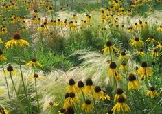 Inspired by Nature [echinacea and grasses] . Great simplicity with incredible texture[echinacea and grasses] . Great simplicity with incredible texture Prairie Planting, Prairie Garden, Meadow Garden, Dream Garden, Stipa, Border Plants, Design Jardin, Garden Borders, Parcs