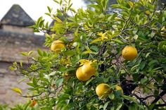 How to Root Citrus Trees From Cuttings