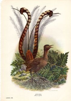 Lyre Bird Antique Bird Print Axel by AntiquePrintGallery on Etsy