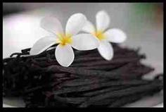 Baunília, Vanilla fragrans