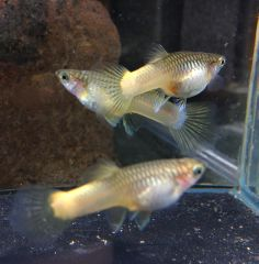 Guppy koi female guppys de selecci n pinterest koi for Baby koi fish for sale cheap