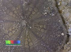 Cake sand dollar (Arachnoides placenta) | More about this sa… | Flickr - Photo Sharing!