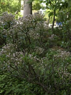 Kalmia latifolia 'Elf' is a native, evergreen shrub Evergreen Shrubs, Flowering Shrubs, Kalmia Latifolia, Planting Plan, Plant Information, Gardening For Beginners, Growing Plants, Native Plants, Colour Schemes
