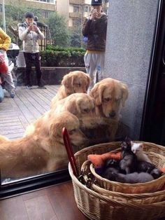 What ARE those things?!?! A group of golden retrievers looks at a basket of kittens in a store window.