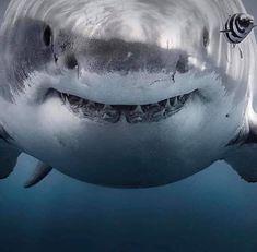 Shark Pictures, Shark Photos, Shark Pics, Cute Shark, Great White Shark, Underwater Creatures, Ocean Creatures, Orcas, Megalodon Shark
