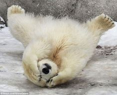 So shy! This Moscow polar bear rolled on the ground and covered his eyes when people tried to take his picture