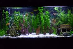 55g african chiclid tank