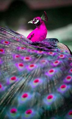 Colorful peacock at Willowbrook Park Private Country Estate in Hamilton, New Zealand • photo: Willowbrook Estate