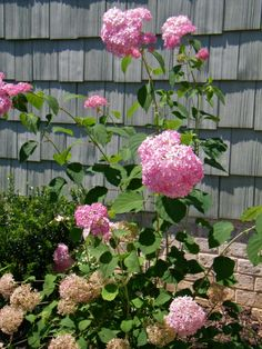 I love pink flowers and the Invincibelle Spirit takes thecake | Flowergardengirl™