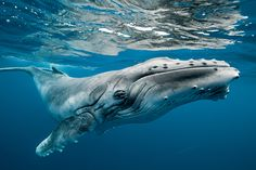 The Beauty of Dozens of Migrating Humpback Whales - take a break fr pain to enjoy these insanely gorgeous photos.