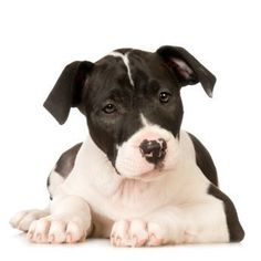 This is a guide about training a Pitbull to not bite. Puppies love to play rough and tumble and biting is a part of that play. However, when they grow up biting is no longer acceptable and potentially dangerous. Training your Pitbull not to bite is a process you can undertake successfully at home.
