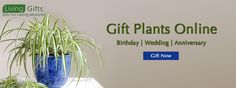 Buy plants in delhi,Plant nurseries in delhi,Gift a plant online in delhi,Buy plants online in delhi,Send plants online in delhi Flowering Plants In India, Bonsai Plants For Sale, Bonsai Plants Online, Order Plants Online, Gifts For Your Boss, Gifts For Boss, Toys Online, Online Gifts, Best Online Flowers