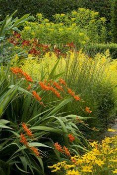 Crocosmia is a perennial that blooms in summer. Orange, red or yellow flowers are great for garden color or cutting. Shown here with Solidaster Lemore and Euphorbia sikkimensis in the Cottage Garden at Sissinghurst Castle Garden, near Cranbrook, Kent Plant Design, Garden Design, Beautiful Gardens, Beautiful Flowers, Vita Sackville West, Crocosmia, Traditional Landscape, Garden Borders, Colorful Garden
