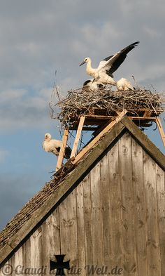 young Storks on the roof of a barn - Brandenburg, #Germany