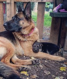 Wicked Training Your German Shepherd Dog Ideas. Mind Blowing Training Your German Shepherd Dog Ideas. Pet Dogs, Dogs And Puppies, Dog Cat, Pets, Doggies, Malinois, German Shepherd Puppies, German Shepherds, Schaefer