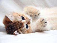 kissanpentu kuvia, kissa taustakuvia, jalka vektori, soma taustat, kasvot materiaali