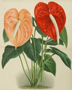 anthurium for kitchen Botanical Flowers, Tropical Flowers, Botanical Art, Watercolor Leaves, Watercolor Paintings, Crotons Plants, Chinese Plants, Flower Art Drawing, Garden Mural