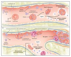platelet aggregation - Google Search